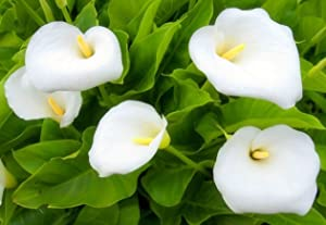 5 White Aethiopica Zantedeschia Calla Lily Bulbs