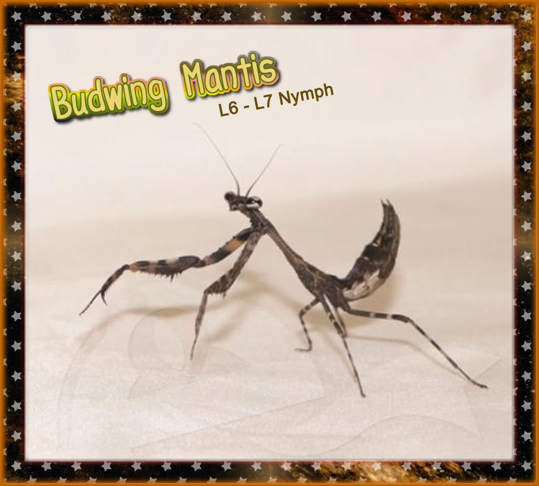 Insectsales.com Live Budwing Praying Mantis Nymph (L6-L7) + Free-Fruit-Flies