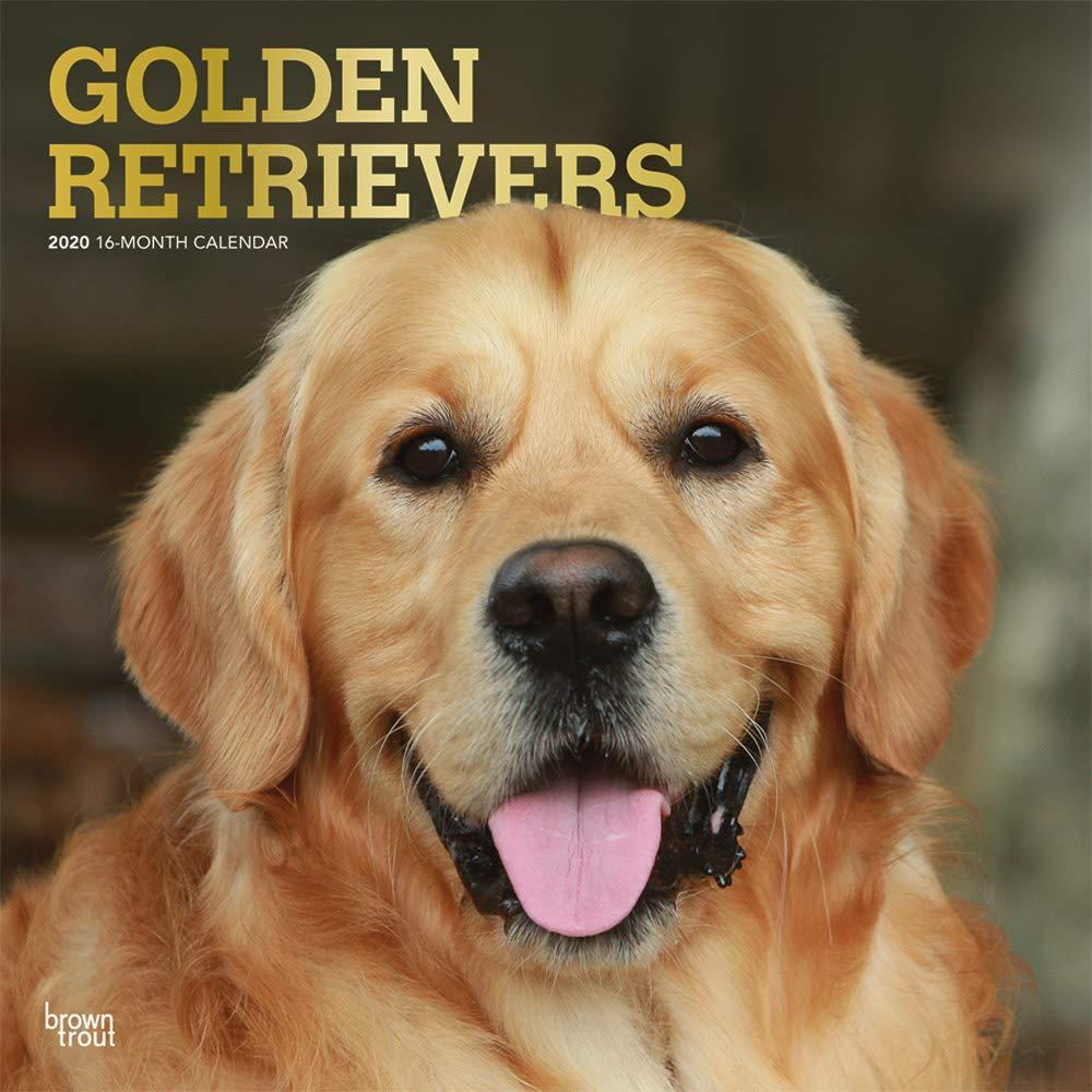 Golden Retrievers 2020   16 Monatskalender Mit Freier DogDays App  Original BrownTrout Kalender  Mehrsprachig   Kalender   Wall Kalender