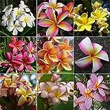 Lulan Frangipani Plumeria Rubra 10 SEEDS MIXED COLORS Hawaiian lei flower