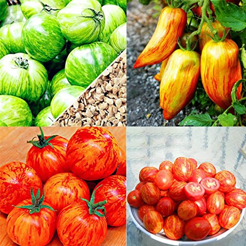 FastDirect Semillas de Tomate Amarillo 100 PCS Semillas de ...