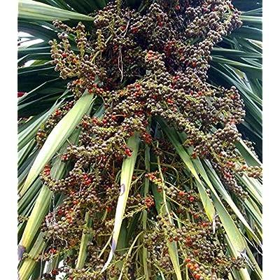 AchmadAnam - 10 Seeds - Dracaena loureiri. E11 : Garden & Outdoor
