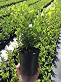 Winter Gem Korean Boxwood Qty 12 Live Plants 4'' Container Fast Growing Cold Hardy Evergreen