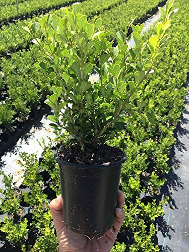 Winter Gem Korean Boxwood Qty 12 Live Plants 4'' Container Fast Growing Cold Hardy Evergreen by Winter Gem Korean Boxwood (Image #7)