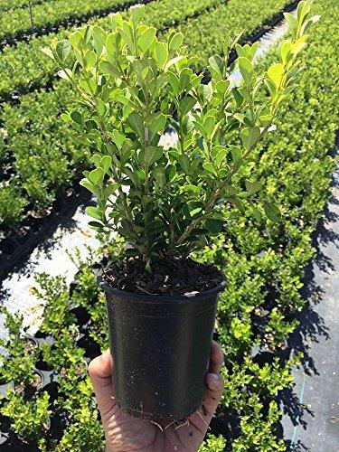 Winter Gem Korean Boxwood Qty 12 Live Plants 4