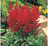 Astilbe ''Federsee'' (2 Plants) brilliant red feathery beauty, shade lover,Nonstop blooms .