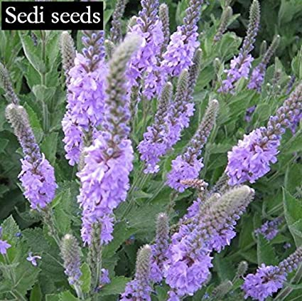 Canada Verbena seeds also known as lemon verbena perennial blue purple  flowers small indoor flowers chinese seeds ,30pcs