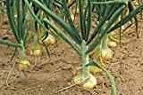 100+VIDALIA SWEET ONION SEEDS Organic Non-GMO American Heirloom Variety 85 Days