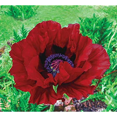 BRECK'S - Heartbeat Spring Blooming Oriental Poppy - A Weather Resistant Variety with Long Lasting Blooms - Includes one Bare Root per Offer : Garden & Outdoor