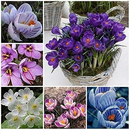Amazon.com: 50 flores de Saffron raras para jardín, flores ...