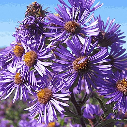 Everwilde Farms - 1750 New England Aster Native Wildflower Seeds - Gold Vault Jumbo Seed Packet
