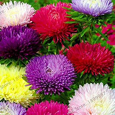 Hot Chinese Aster Bonsai (Callistephus) give You a Garden Full of Bright Summer Big Flowers 200 Pcs/Pack,#QJ3 - (Color: Mix): Garden & Outdoor