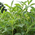 Stevia Seeds (Stevia rebaudiana) 10+ Rare Heirloom Herb Seeds in FROZEN SEED CAPSULES for the Gardener & Rare Seeds Collector - Plant Seeds Now or Save Seeds for Years