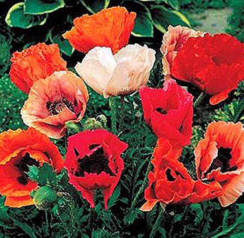 10,000 Oriental Poppy Seeds - Perennial in Mixed (Oriental Poppies Seed)