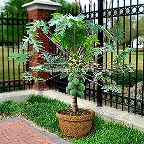 - Fruit seeds RARE10+Seed)Dwarf hovey Papaya Tree Plant Container/Bonsai*USA Combine Shipping