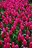 Burpee's Cosmopolitan Tulip - 10 Flower Bulbs | Light Pink | 12 - 14cm Bulb Diameter