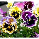 Stiefmütterchen Rokoko Mix Samen - Viola × wittrockiana