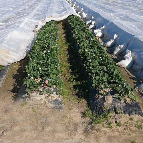 FrostGuard Light Weight Row Cover - 83'' x 1000' by FarmTek (Image #6)