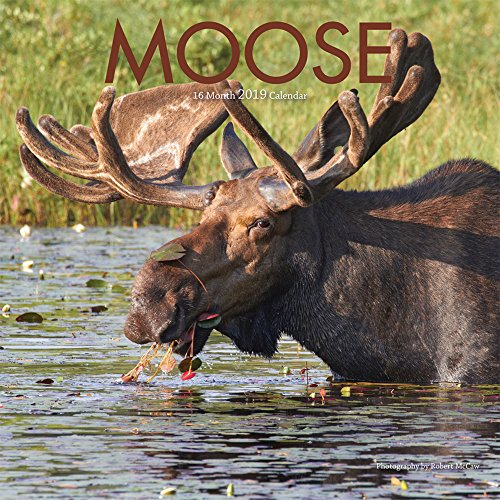 Moose 2019 12 x 12 Inch Monthly Square Wall Calendar by Wyman, Wildlife Animals Hunting