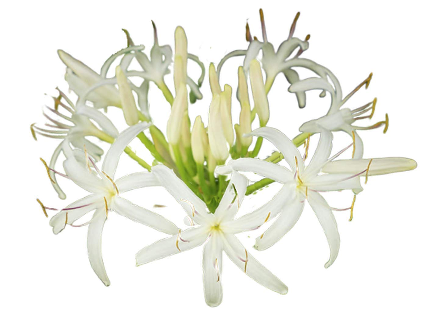 Spider Lily White Flower 4 Bulbs - Crinum Asiaticum Fresh Beauty Spider Plant, Exotic Lycoris Albiflora Perennial Lilies, Summer Flower Bulbs for Garden Decor by Mabes Warehouse