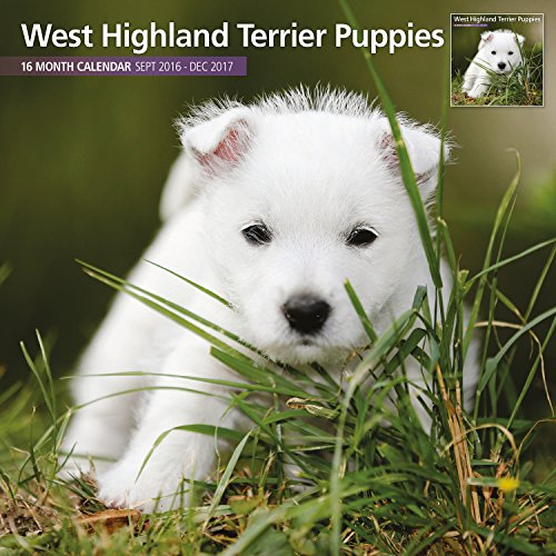 Magnet & Steel 2017 West Highland White Terrier Puppies Calendar, Traditonal Wall Calendar