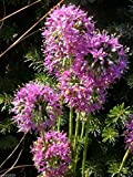 Allium stellatum (Prairie Onion) flower Seeds-200 Seeds
