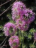 Allium stellatum (Prairie Onion) flower Seeds-200 Seeds