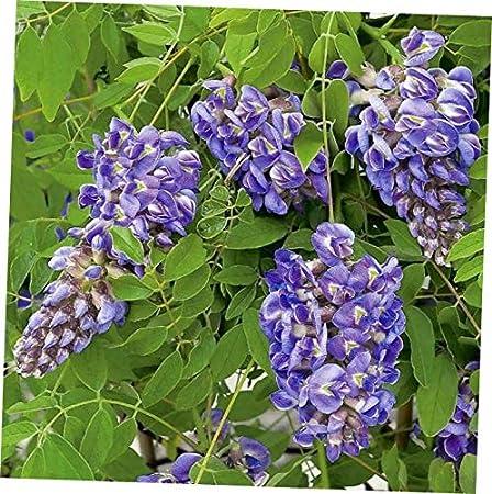 Amazon Com Cji 1 Plant Wisteria Frutescens Amethyst Falls Hardy