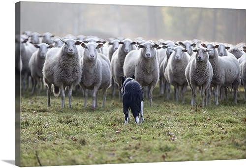 Flock of Sheep Facing a Border Collie Canvas Wall Art Print