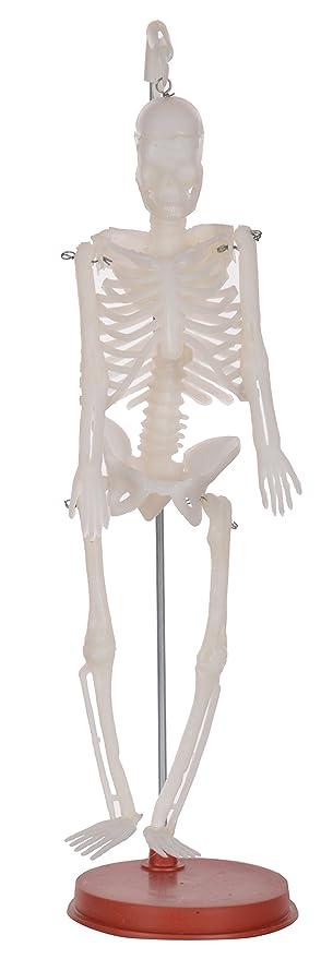 Buy Human Skeleton Fiber Model On Plastic Stand White 1 Ft Long
