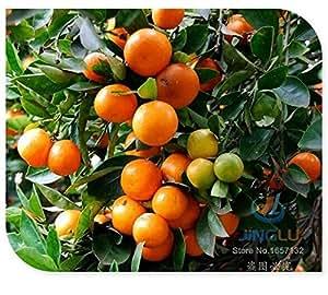 calamondin seeds miniature citrus 50 seeds tangy fruit orange seeds showy. Black Bedroom Furniture Sets. Home Design Ideas
