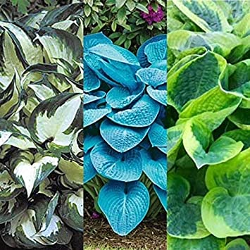3 X Hosta Fire And Ice Blue Angel Wide Brim Ready To Plant