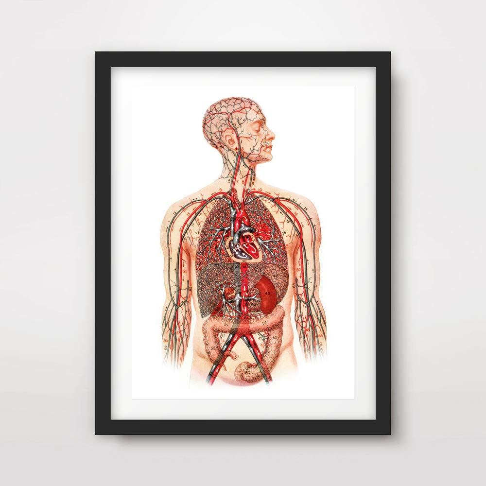 Amazon Heart Veins Arteries Body Medical Art Print Anatomical
