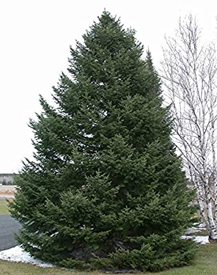 "Balsam Fir - Abies balsamea - Hardy Established Roots - 2.5"" Potted - 3 Plant by Growers Soltuion"
