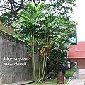 (50 SEEDS) ~MacARTHUR~ Palm Tree 50+ LIVE SEEDS Rare Papua New Guinea Plant