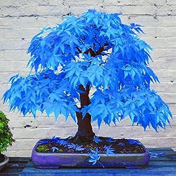 50 Bonsai Blau Ahornbaum Samen Bonsai Baum Samen Selten Himmel Blau
