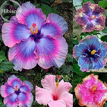 Amazoncom 2018 Hot Sale Rare Mix Colors Giant Hibiscus Seeds