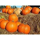 """SANHOC Seeds Package: Large Squash, Pumpkin""""Big Max"""" - seedsSEED"""