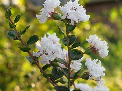 Amazon 35 white crepe myrtle lagerstroemia flowering shrub 35 white crepe myrtle lagerstroemia flowering shrub bush small tree seeds mightylinksfo
