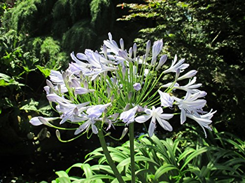 Agapanthus praecox: Lily of the Nile