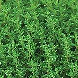 Burpee 60778A Organic Common Thyme Seeds, 1600