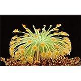 モウセンゴケBroomensis食虫植物非常に珍しい植物10種ウーリーモウセンゴケPetiolaris
