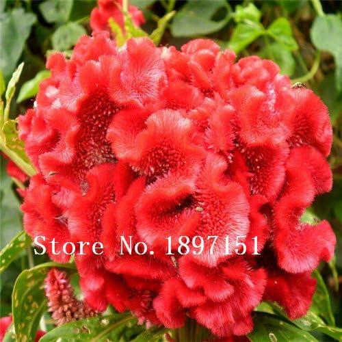 500pcs grande de la venta / bolso de las flores Celosia cristata, semillas Celosia cristata, flores Semillas Semillas jardín de DIY para las semillas de flor de la planta: Amazon.es: Jardín