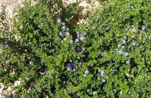 Fresh Squaw Carpet 15 + Seeds (Ceanothus prostratus) Groundcover Plant (Best Ceanothus Ground Cover)