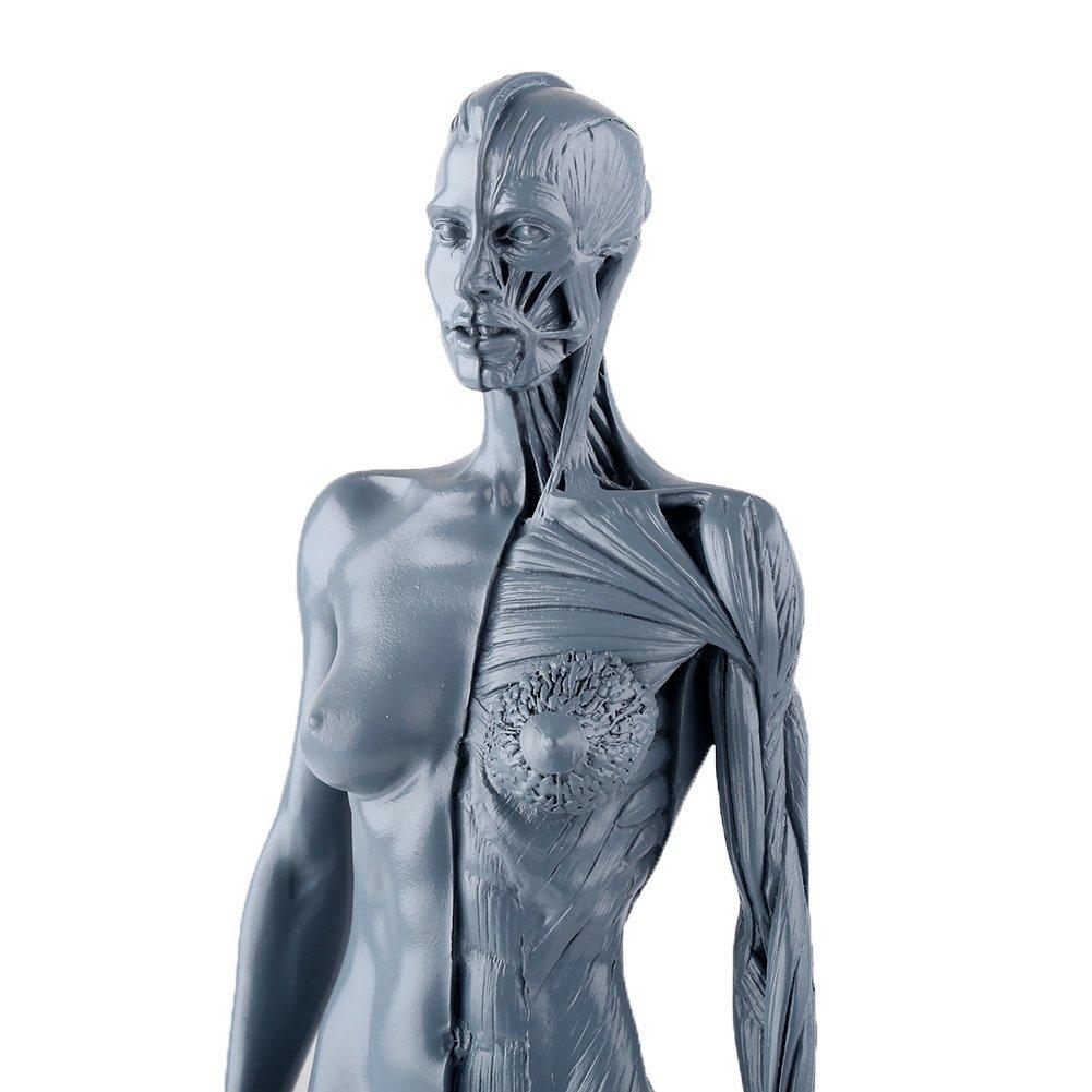 VERY100 Anatomie Figuren Modell muskelsystem muskel Lernmittel ...