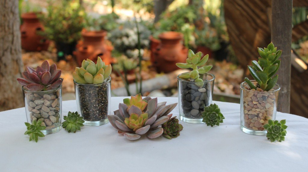 80 Rosette Succulent Cuttings with Round Glass Votive Complete Wedding Favor Kits with Pail