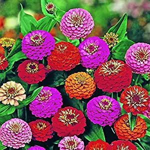Lilliput Zinnia Mix (200 thru 10 LB seeds) Grow Long Lasting Cut Flowers! ST13 (680K seeds, or 10 Pounds)