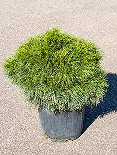 Zwerg-Schwarz-Kiefer, ca. 70 cm, Balkonpflanze immergrün-winterfest, Terrassenpflanze sonnig-halbschattig, Kübelpflanze Südbalkon-Westbalkon-Ostbalkon, Pinus mugo varella, im Topf