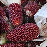 Seed Needs 500 Seeds, Ornamental Corn Strawberry (Zea mays) Seeds