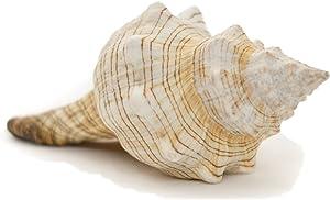 "Striped Fox Sea Shell | Striped Fox Conch Sea Shells | 6""-7"" Collector Shell | 1 piece Set for Display or Decor | Plus Free Nautical eBook by Joseph Rains"